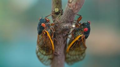 Cicada season: What to expect from the coming brood