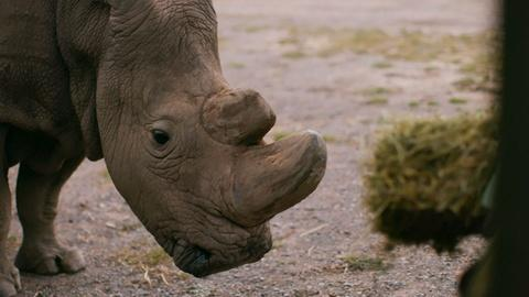 Nature -- How Sudan Became the Last Male Northern White Rhino