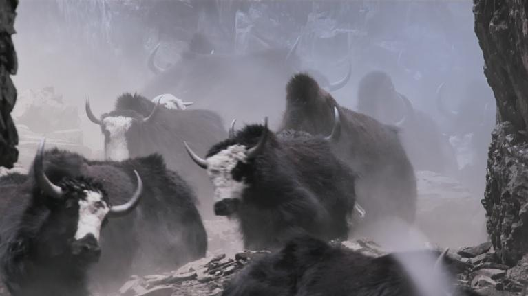Earth's Natural Wonders: In Nepal Herders Bring Yaks Down a Steep Mountain Pass