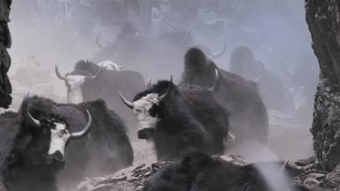 In Nepal Herders Bring Yaks Down a Steep Mountain Pass