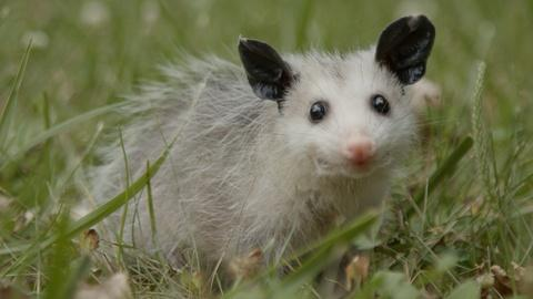 Nature -- Mythbusting Opossum Facts | Backyard Nature