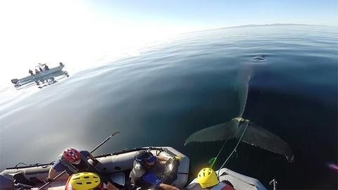 Big Blue Live -- Entangled Whale Rescued from Rope