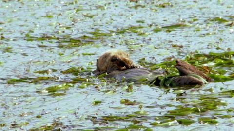Big Blue Live -- The California Sea Otter Makes a Comeback