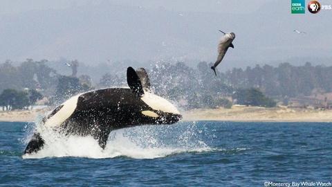 Big Blue Live -- The Orca Hunt