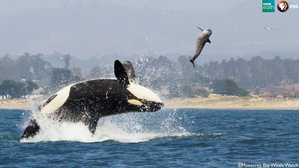 The Orca Hunt image