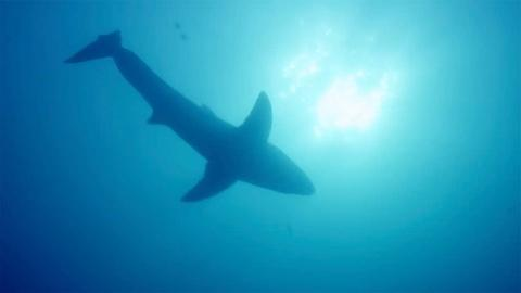 Big Blue Live -- Fan Favorite: Great White Shark