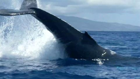 Big Blue Live -- Fan Favorite: Humpback Whale