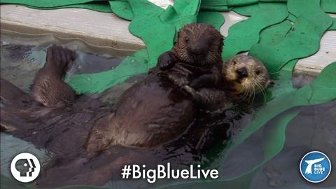 Big Blue Live -- A Sea Otter's Adorable Adoption Story
