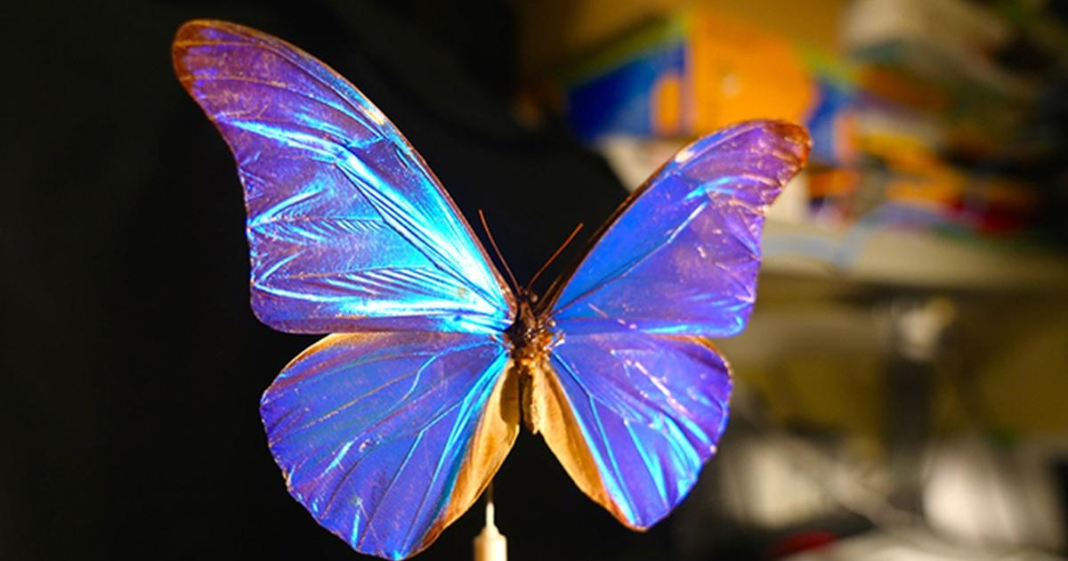 Deep Look What Gives The Morpho Butterfly Its Magnificent Blue Season 1 Episode 5 Pbs
