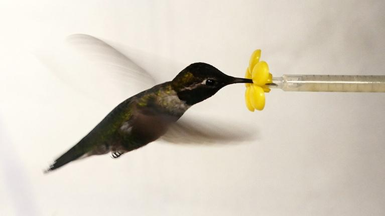 Deep Look: What Happens When You Put a Hummingbird in a Wind Tunnel?