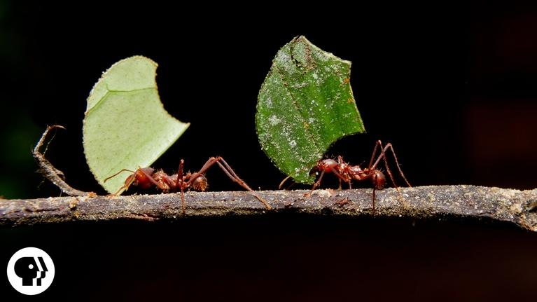 Deep Look: Where Are the Ants Carrying All Those Leaves?