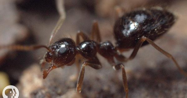 Winter is Coming For These Argentine Ant Invaders | Season 3 Episode