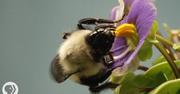 This Vibrating Bumblebee Unlocks A Flowers Hidden Treasure Deep