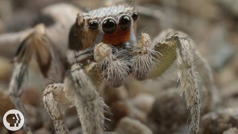 Deep Look -- S3 Ep12: For These Tiny Spiders, It's Sing or Get Served