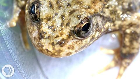 Deep Look -- S3 Ep10: Stopping the Frog Apocalypse with a New Vaccine