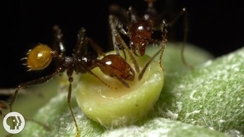 Deep Look -- S3 Ep14: The Double-Crossing Ants