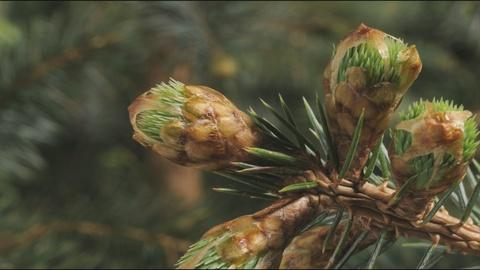 EARTH A New Wild -- Timelapse of Budding Sitka and Hemlock Plants