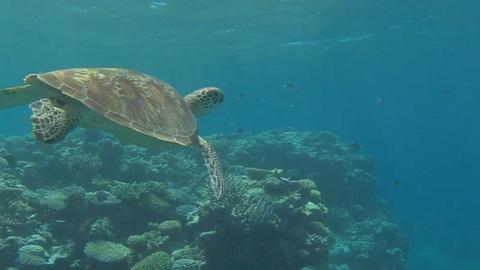 EARTH A New Wild -- Tiger Sharks Feast on Turtles at Raine Island, Australia