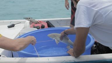 Student Scientists Tag a Baby Lemon Shark