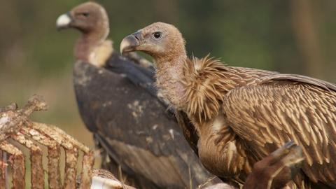 Vultures Scavenge a Carcass (GRAPHIC)