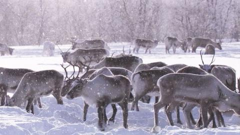 EARTH A New Wild -- Reindeer Castration — Does It Still Happen?