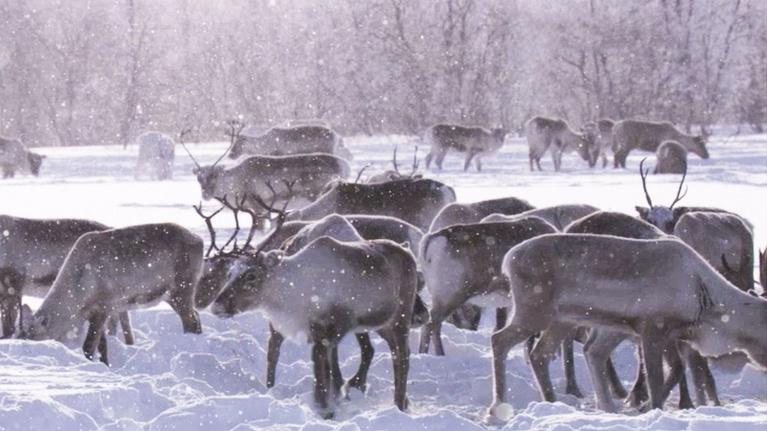 EARTH A New Wild: Reindeer Castration — Does It Still Happen?