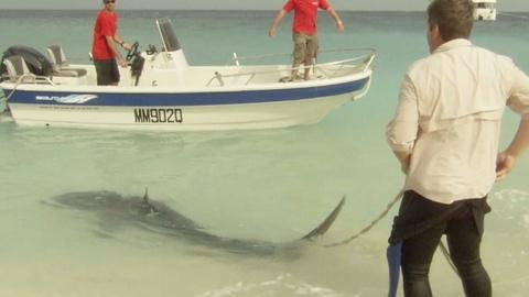 EARTH A New Wild -- Shark Scientist Richard Fitzpatrick Tags a Tiger Shark