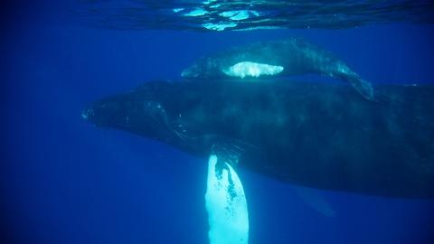 Forces of Nature -- Humpback Whale Nursery