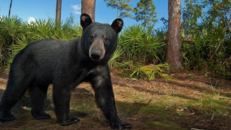 Florida Black Bears Face Off image