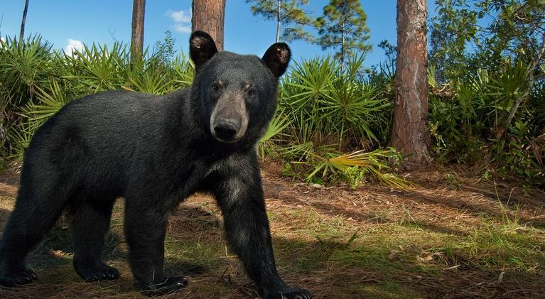 The Forgotten Coast: Return to Wild Florida: Florida Black Bears Face Off