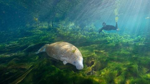 The Forgotten Coast: Return to Wild Florida -- Record-Setting Manatees
