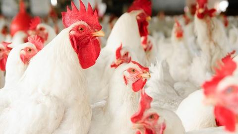 """FRONTLINE -- """"The Trouble with Chicken"""" - Preview"""