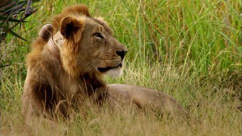 Gorongosa Park -- Episode 1 | Lion Mystery
