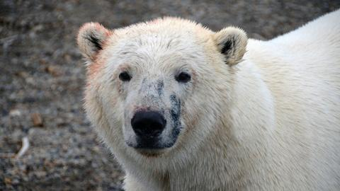 The Great Polar Bear Feast -- Gathering is a Challenge for Solitary Bears