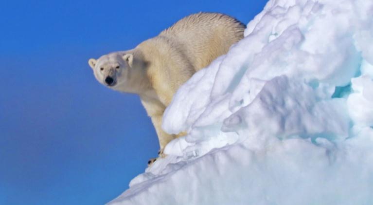 The Great Polar Bear Feast: Scientific Feast For Polar Bear Studies