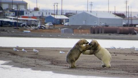 The Great Polar Bear Feast -- Polar Bears and Humans Are Dangerous Neighbors