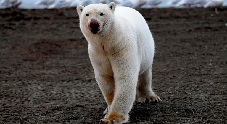 The Great Polar Bear Feast: The Great Polar Bear Feast