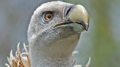 Gross Science -- Why Don't Vultures Get Food Poisoning?