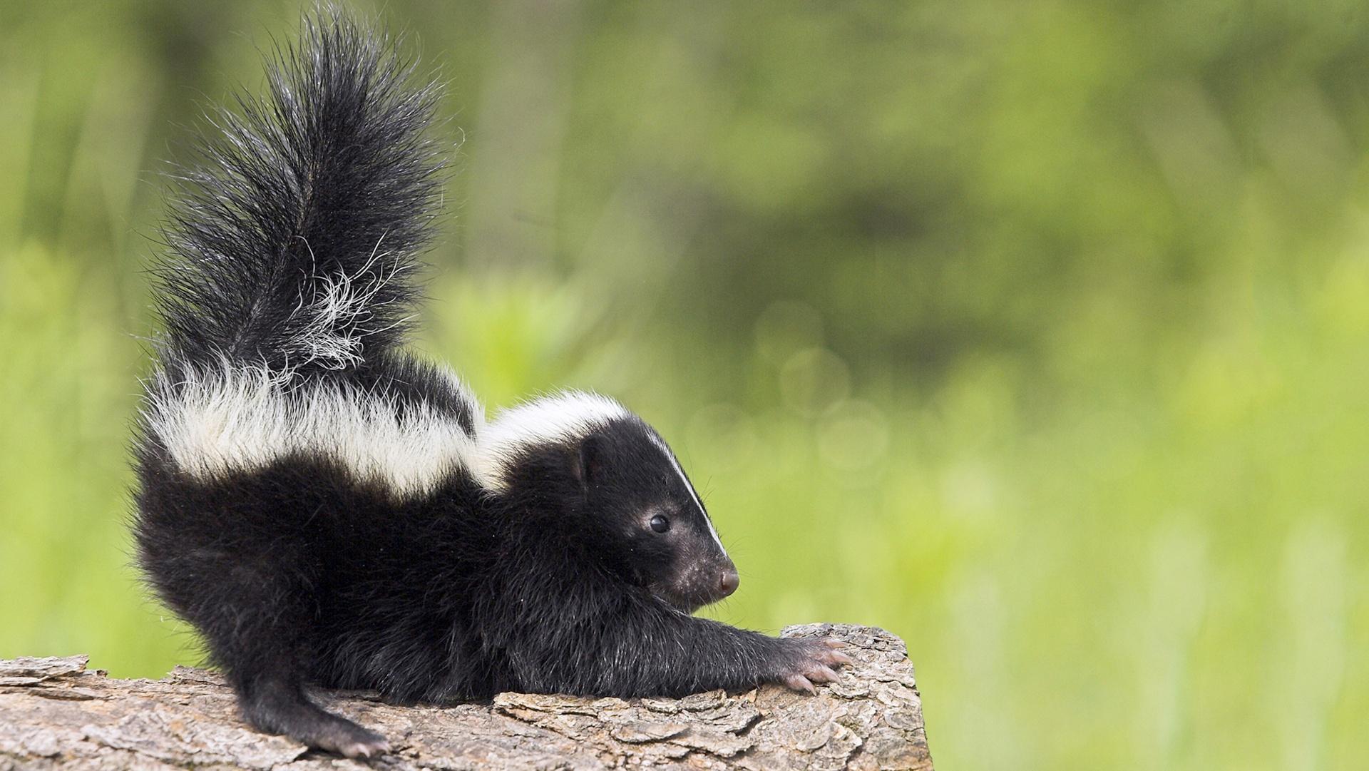 The Chemistry Of Skunk Spray Gross Science Pbs