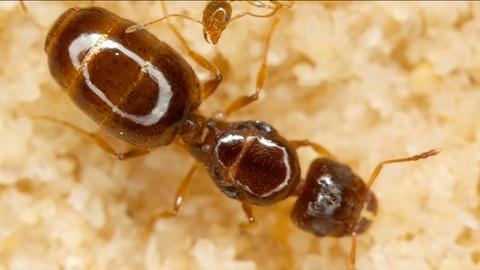 Gross Science -- What Sound Does An Ant Make?