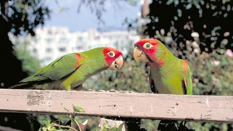Independent Lens -- S8: The Wild Parrots of Telegraph Hill: Bohemian St. Francis