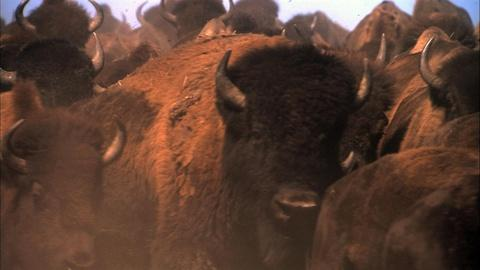 Independent Lens -- Is There Room for the American Bison in America Anymore?
