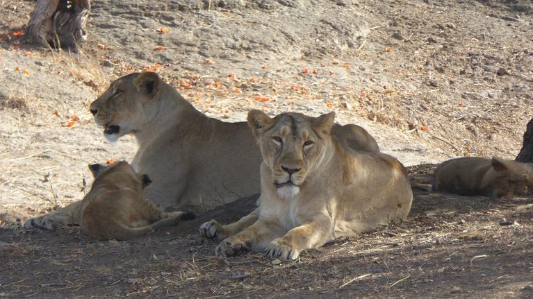 India - Nature's Wonderland: Pride Under Tree