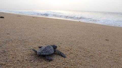 India - Nature's Wonderland -- Turtle Hatchlings