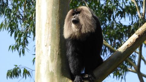India - Nature's Wonderland -- Lion-Tailed Macaque