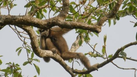 India - Nature's Wonderland -- Gibbons