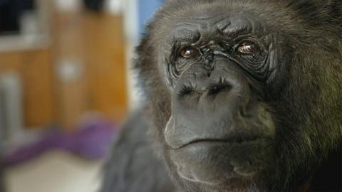 Koko - The Gorilla Who Talks -- Meet Koko