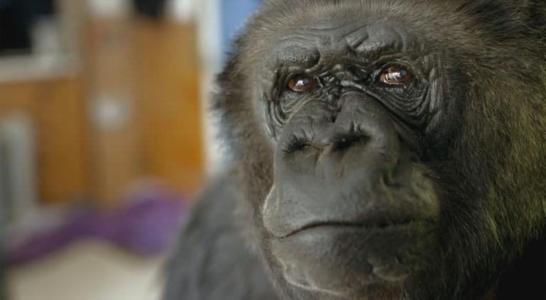 Koko - The Gorilla Who Talks: Meet Koko