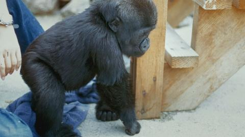 Koko - The Gorilla Who Talks -- Early Days with Koko