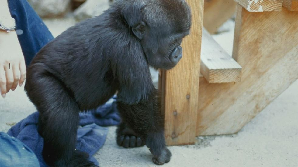 Early Days with Koko image